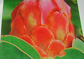 Bearded-Protea