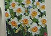Daffodil_Flower