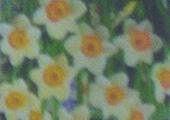 Daffodil_Mini-Flower