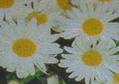 Daisy-Small