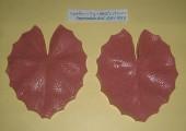 Water lily Nasturtium ARV-0058