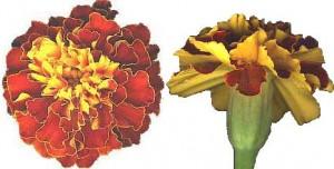 thumbnail_marigold flower